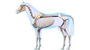 comment se répartit le poids du cheval entre l'avant et l'arrière main